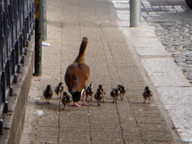 family-of-egyptian-geese-that-were-bred-on-top-of-sanctuary-roof-babies-made-debut-on-20-may-20116-640x480
